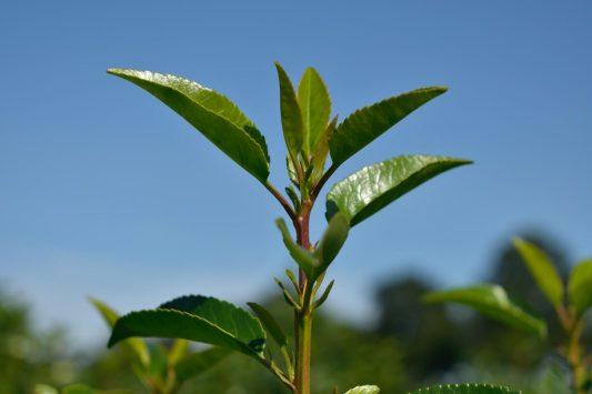 Portugese laurier - Haagplantenkopen.nl
