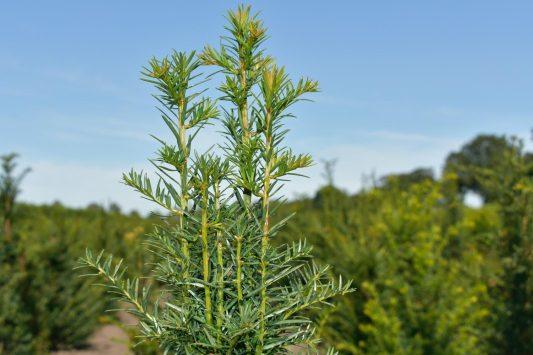 Taxus baccata - Haagplantenkopen.nl